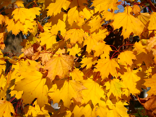 nature leaves autumn yellow