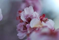 plum_20090226_7.jpg (faeparsons) Tags: flowers blossoms plumblossoms fruittrees