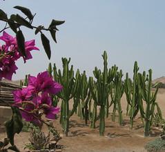 Pachacamac flora (paul.comstock) Tags: peru southamerica peruvian pachacamac sudamrica amricadelsur lurin lurinrivervalley lurinriver museodepachacamac santuarioarqueologico lurindistrict