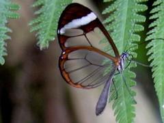 Butterfly from Mainau Island... (***irene***) Tags: fab island one fantastic explore 500 1000 chosen mainau transparente the thechosenone kartpostal sognidreams transparentwingsbutterfly