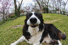Meg: 10/52: March 6, 2009 (seeit_snapit) Tags: portrait silly nose backyard meg canine fisheye bordercollie saycheese cutesmile frontpageexplore challengeyouwinner meggypoo 52weeksfordogs 52weeksfordogs9