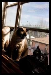 Uriel Kirara & Tsunade (Seskia) Tags: blue pet cats pets window animal animals cat chats chat coat siamese felini sole gatto nero gatti pelosi pelo baffi tigrato