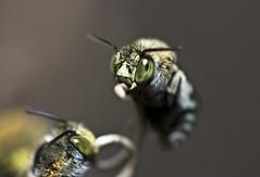 [フリー画像] [節足動物] [昆虫] [蜂/ハチ]        [フリー素材]