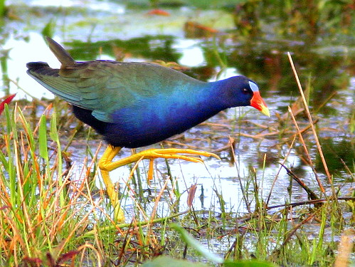 Purple Gallinule 20090224