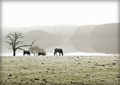 (Dove*) Tags: trees horses mist scotland explore loch ard