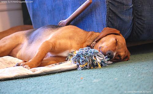 Porter puppy