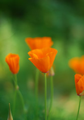 Poppy  Bliss (RedheadedWoman) Tags: flowers orange green bokeh poppy awesomeblossom californiapoppies bej photographyrocks masterphotos nikond80 qualitysurroundingsnewgroup nikkorafs50mmg114