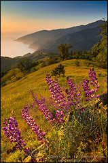 Lupine wildflowers at sunset on hills along the Big Sur Coast, California (enlightphoto) Tags: garycrabbe enlightenedimages enlightphotocom beautiful beauty big sur bloom blossom california calm coast coastline dramatic ecology ecosystem elevation environment flora flower flowers fresh grass green growing hill hills hillside idyllic land landscape los padres national forest lupine natural nature near ocean overlook peaceful plant purple quiet ridge rugged scene scenery scenic sea season seasonal serene shrub sky solitude spring springtime steep sunset ventana wilderness view vista wildflower clear climate distant distance flickraward frhwofavs aplusphoto colorphotoaward