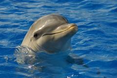 Hay dos opciones para nadar con los delfines - una experiencia prisionera de la nadada del delfín y una interacción salvaje del delfín. (CaptiveDolphins-vs-WildDolphins) Tags: malta dolphins shame delphinarium malte mediteraneo maltagozo marinelands mediterraneomarinepark captivedolphins themediteranneomarineparkinmaltaisashame unehonte unaverguenza dauphinscaptifs themediteranneomarineparkinsliemathemediteranneomarineparkinmalta themediteranneomarinepark dauphinsdelfines delfinescautivos