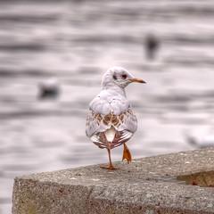 Seagull (marcp_dmoz) Tags: schweiz switzerland suiza seagull zurich gaviota animalplanet hdr