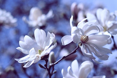 """The most wasted of all days is one without laughter."" (ginnerobot) Tags: flowers blue sky white tree sunshine 50mm petals spring soft wind bokeh blossoms yesterday lunchbreak hbw ireallyshoudlleanmoreaboutflowers ithinkthesemightbemagnolias"