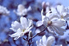 """""""The most wasted of all days is one without laughter."""" (ginnerobot) Tags: flowers blue sky white tree sunshine 50mm petals spring soft wind bokeh blossoms yesterday lunchbreak hbw ireallyshoudlleanmoreaboutflowers ithinkthesemightbemagnolias"""