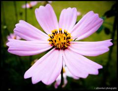 It's Sunday!! (abhiomkar) Tags: pink flowers holiday flower macro green yellow canon season sunday touch bangalore wish karnataka greet goldentemple hpc bylakuppe hws summar happysunday abhiomkarin hwscoorgtrip hwscoorgtour