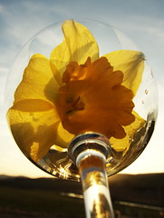 Daffodil (The Neepster) Tags: sky flower nature glass yellow daffodil refraction
