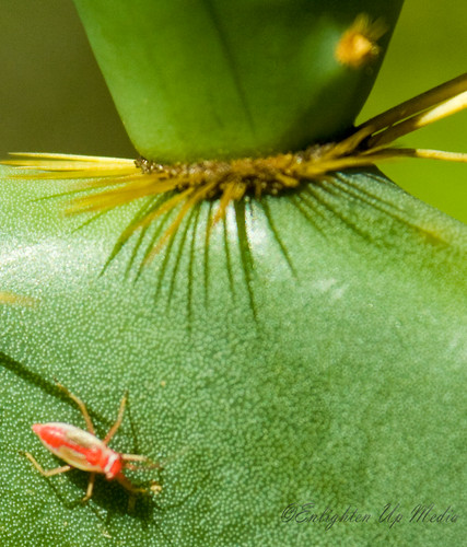 Red Bug On A Cactus
