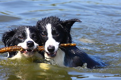 Border Collies 4492 (Dave-F) Tags: dogs water canon fun shropshire telford fetch soe bordercollies apley 100400 40d