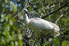 _DSC4203 (Eric Bagchus) Tags: dutch birds fauna nederland natuur vogel spoonbill lepelaar platalealeucorodia haarlemmerliede