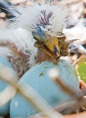Great Egret Newborn,Minutes Old (Nature Photos by Scott) Tags: bird nature birds florida wildlife birding rookery nesting watcher gatorland