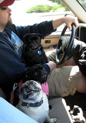 The pugs look pretty happy on the way to the vet.