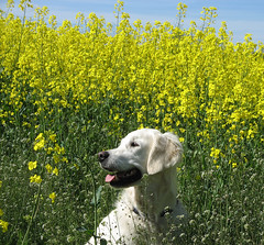 Golden girl in a yellow field (Ingrid0804) Tags: dog nature field yellow goldenretriever denmark spring rapeseed yellowfield abigfave impressedbeauty goldstaraward photoexplore explorewinnersoftheworld