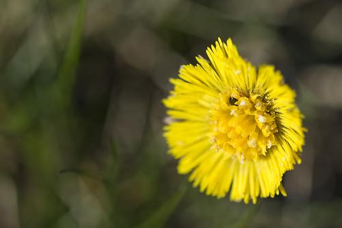 Dandelion (by Hamsteren)