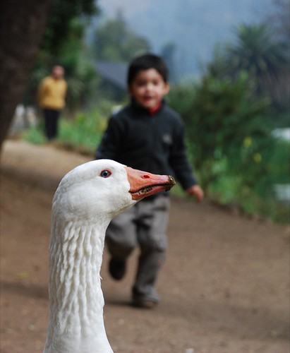 father looks on while child ambushes goose