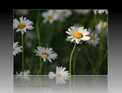 am Ackerrand (Blende 007) Tags: plant flower pflanze blume weiss margeriten naturesfinest mywinners theunforgettablepictures thepoweroftheflower