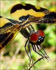 balancing Act... (aroon_kalandy) Tags: macro nature beauty dragonfly calicut platinumheartaward aroonkalandy