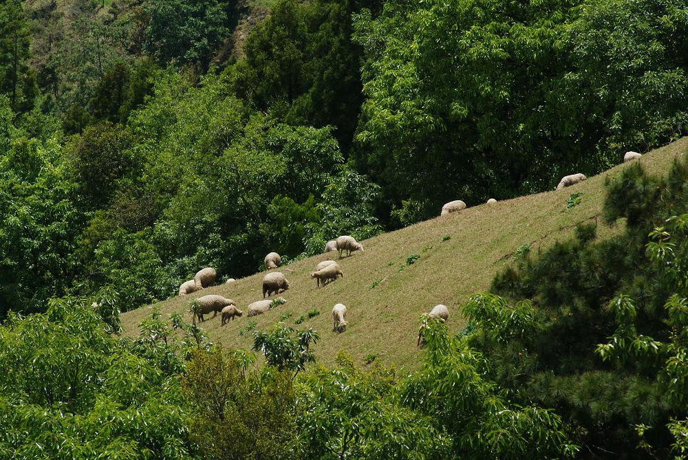 奇萊Day1-03 有綿羊