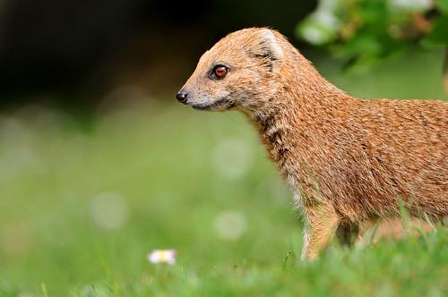 フリー画像| 動物写真| 哺乳類| 小動物| マングース|       フリー素材|