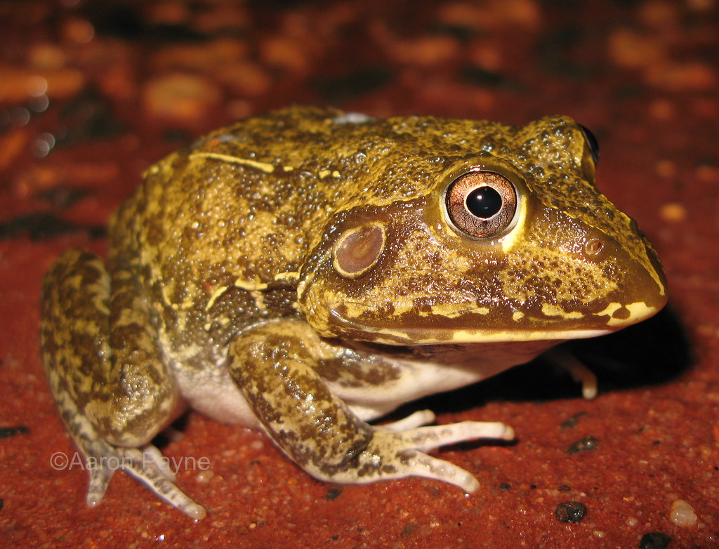 New Holland Frog (Cyclorana novaehollandiae)