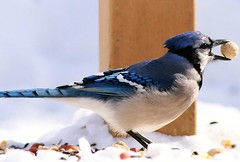Blue Jay: Peanut thief (Stevie Steve Steven) Tags: family blue cats pets fish bird dogs nature birds animals kids children geese swan squirrels jay eagle cardinal hawk wildlife bears families ducks sunsets parrot grackle deer explore finch goats tigers lions bluejays sharks whales swallow crows familyphotos eagles orioles ravens osprey owls oriole