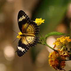 Cethosia cyane (Leopard Lacewing) (greekstifado - Yanni) Tags: nature wings flight butterflies insects tropical leopardlacewing cethosiacyane beautifulphoto specinsect theacademyofnaturalsciences magicunicornverybest magicunicornmasterpiece
