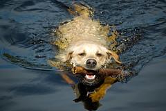 Otter Dog (Dan Baillie) Tags: dog water barley yellow swimming scotland labrador canine stick gundog dumfriesandgalloway puddock retreive danbaillie bailliephotographycouk bailliephotography wigtownshirephotographer dumfriesandgallowayphotography