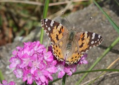 Painted Lady (Robert Ding) Tags: butterfly migration normandy paintedlady