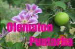 Clematis apple?