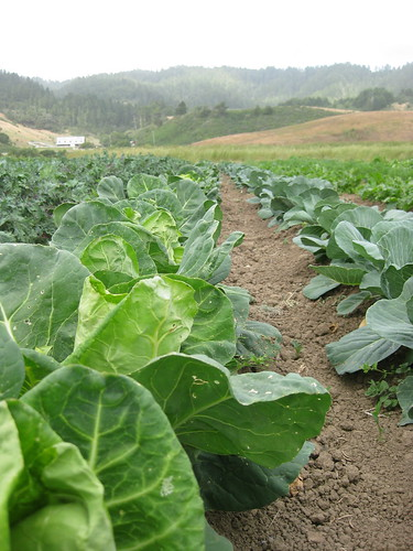 Fat Cabbage Farm field: brassica block
