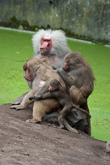 2009-06-27-12h34m34.IMG_2489l (A.J. Haverkamp) Tags: zoo thenetherlands amersfoort hamadryasbaboon papiohamadryas dierentuin dierenparkamersfoort mantelbaviaan httpwwwdierenparkamersfoortnl canonef300mmf4lisusmlens
