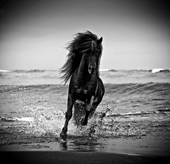 12516-157-209 (Ragnar TH) Tags: horse white black nature beauty animals iceland mare friendship running getty gt stallion icelandic foal arcticimages