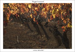 Range (Michel Seguret thanks you all for + 7.700.000 view) Tags: autumn france green art fall nature automne season vineyard vines nikon flickr artist arte via kunst herbst natur herfst vine natura automn pro otoo d200 autunno vignes vigne languedoc naturesbest vite viticulture temporada weinberg artiste viticultura mbp languedocroussillon smrgsbord photographe saison herault weinstock vid vigneto weinbau stagione viticoltura autonno diamondstars thisphotorocks mostbeautifulpicture flickrverte flickrpopularphotographer croquenature mbpictures mostbeautifulpictures michelseguret