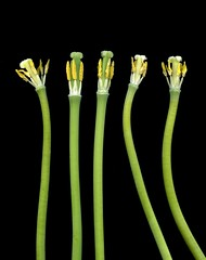 42923 Tulipa (horticultural art) Tags: tulip stems getty horticulture tulipa nakedstems horticulturalart 149601604