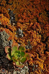 líquenes. (ankor ramos) Tags: naturaleza planta mar buenavista carrizales roca atlántico vegetación valles líquenes océano risco verode