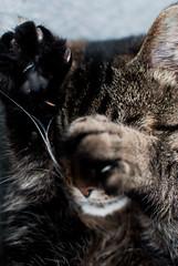 Shakira is shy of the cam (Tove Paqualin) Tags: pet animal cat paw no pad shy hide whisker cutiepie paws charming hiding husdjur shakira pussyfoot katt tass fure hideandseak sötnos trampdyna