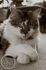 Poser (KaTrina Blanks) Tags: portrait pet cats cute animal animals cat nc furry kitten chat fuzzy kitty northcarolina kittens gato cuddly furryfriday gatto ritratto gatti animale kedi portre chaton petportrait gattino poils hayvan carino irin gattini sevimli peloso kediler animaledomestico bulank pisipisi yavrukedi affettuoso evcilhayvan tyl camoments venerdpeloso momentidigatto ritrattodacompagnia tylcuma kedianlar hayvanportre