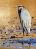 Lonely Evening (ozoni11) Tags: bird heron nature birds animal animals interestingness nikon explore greatblueheron 203 herons columbiamaryland d300 greatblueherons wildelake interestingness203 i500 michaeloberman explore203 ozoni11