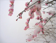 The Power of Spring! (Kurlylox1) Tags: pink flowers snow tree weather spring branches snowstorm stamens neighborhood whitebackground blooms umi capitolhill blooming plumblossoms naturesfinest mywalktowork mywinners