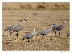 3-4-2009 cranes 023 (Lynnette_) Tags: birds nebraska olympus cranes sandhillcranes e510 centralflyway springmigration vogonpoetry 342009cranes