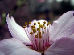 parte reproductora (jacilluch) Tags: pink flower macro fleur flor blossoms rosa estilo antera prunus almendro gineceo filamento pistilo estigma estambres androceo citrit theunforgettablepictures goldstaraward alemdrosilvestre almendroamargo