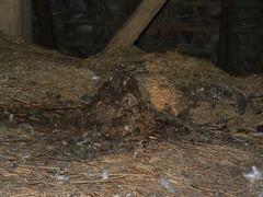 Steenmarter latrine (Erik's Fotosite) Tags: droppings latrine uitwerpselen martesfoina steenmarter stonemarten keutels
