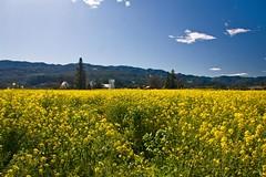 Another Napa Mustard Shot (Cliff Stone) Tags: spring napa mustard winecountry springtime circularpolarizer californiawinecountry canonefs1785is naparegion canoneos40d